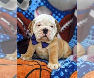 Olde English Bulldogge Puppy for sale in OXFORD, PA, USA