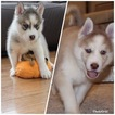 Siberian Husky Puppy For Sale in COEUR D ALENE, ID, USA