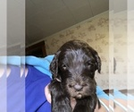 Small #26 Labradoodle