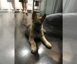 Small #45 German Shepherd Dog