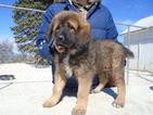 Tibetan Mastiff Puppy For Sale in GALVA, IL, USA
