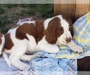English Springer Spaniel Puppy for Sale in TENINO, Washington USA