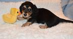 Dachshund Puppy For Sale in BENTON, AR, USA