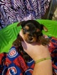 Yorkshire Terrier Puppy For Sale in ARTHUR, IL, USA