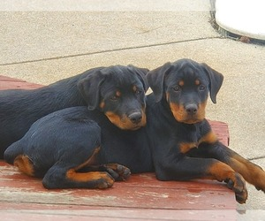 Rottweiler Dog for Adoption in WINDHAM, New Hampshire USA