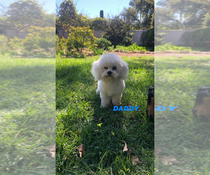Father of the Bichon Frise puppies born on 09/14/2020
