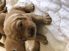 Golden Retriever Puppy For Sale in GADSDEN, AL, USA