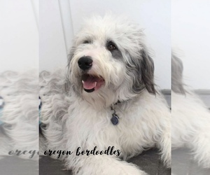 Mother of the Bordoodle puppies born on 06/02/2019