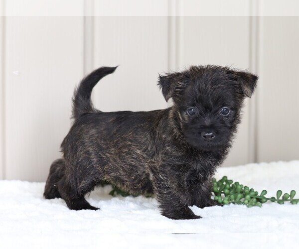 Medium Photo #3 Cairn Terrier Puppy For Sale in FREDERICKSBG, OH, USA