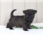 Small Photo #3 Cairn Terrier Puppy For Sale in FREDERICKSBG, OH, USA