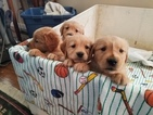 Golden Retriever Puppy For Sale in CRAWFORDSVILLE, IN,