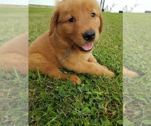 Golden Retriever Puppy for sale in WAYNESFIELD, OH, USA