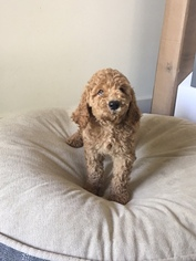 Poodle (Standard) Puppy For Sale in NASHVILLE, TN, USA