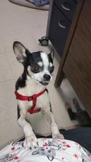 Poochie - Chihuahua Dog For Adoption
