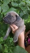 Great Dane Puppy For Sale in LENGBY, MN
