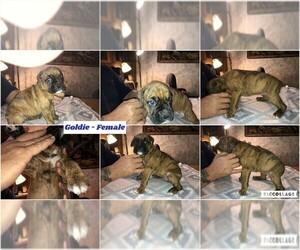 Boxer Puppy for Sale in BISMARCK, Arkansas USA