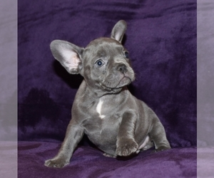 French Bulldog Dog for Adoption in CARTERSVILLE, Georgia USA