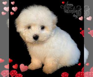 Maltese Puppy for sale in SAN FRANCISCO, CA, USA