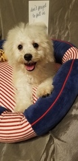 Bichon Frise Puppy For Sale in CHATHAM, IL, USA