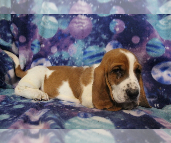 Medium Photo #3 Basset Hound Puppy For Sale in JOICE, IA, USA