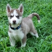 Siberian Husky Puppy For Sale in WARREN, MA, USA