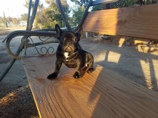 French Bulldog Puppy for sale in AGUA DULCE, CA, USA