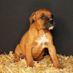 Boxer Puppy For Sale in ROCHESTER, IN, USA