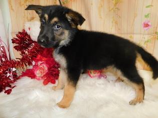 German Shepherd Dog Puppy for sale in HAMMOND, IN, USA
