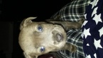 American Pit Bull Terrier Puppy For Sale in MEMPHIS, TN,