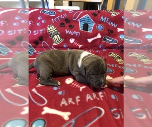American Staffordshire Terrier Puppy for sale in SIOUX FALLS, SD, USA