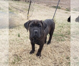 Cane Corso Puppy for Sale in GALLATIN, Tennessee USA
