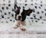 Small Photo #4 French Bulldog Puppy For Sale in GLENVILLE, CT, USA