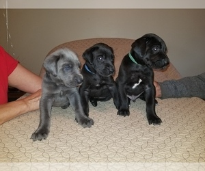 Great Dane Puppy for Sale in MOUNT GILEAD, Ohio USA