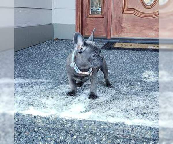 Medium Photo #6 French Bulldog Puppy For Sale in MARYSVILLE, WA, USA