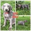 Weimaraner Puppy For Sale in RICHMOND, Kentucky,