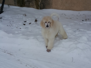 Poodle (Standard) Puppy For Sale in FLEMING, CO
