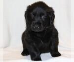 Puppy 0 Golden Newfie