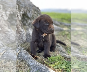 Labrador Retriever Puppy for Sale in MADERA, California USA