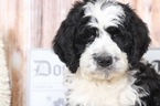 Bernedoodle Puppy For Sale near 21014, Bel Air, MD, USA