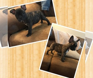 Faux Frenchbo Bulldog Dog for Adoption in DENVER, Colorado USA