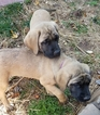Mastiff Puppy For Sale in CLOVERLY, MD, USA