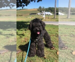 Whoodle Puppy for Sale in LEWISBURG, Pennsylvania USA