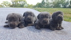 Cane Corso Puppy For Sale in SAINT LOUIS, MO,