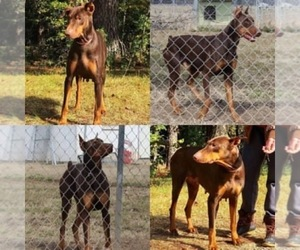 Father of the Doberman Pinscher puppies born on 04/04/2019