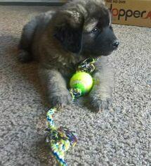 Caucasian Shepherd Dog Dog for Adoption in KUNA, Idaho USA