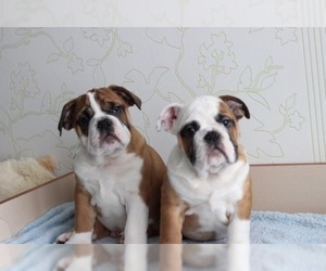English Bulldog Puppy for sale in HUNTINGTN BCH, CA, USA
