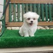 Adorable Maltese Boy