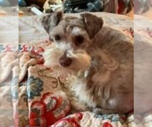 Schnauzer (Miniature) Puppy for Sale in CANBY, Oregon USA