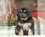 Puppy 3 Tibetan Mastiff