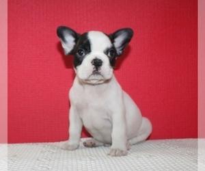 French Bulldog Puppy for sale in HIALEAH, FL, USA